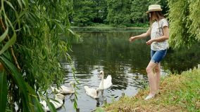 Young girl in panama feeds swans on the lake in the summer park. Green grass and clean water in pond stock video footage