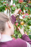 Young girl picking apples Stock Image