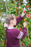 Young girl picking apples Stock Photography
