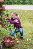 Young girl picking apples Royalty Free Stock Images