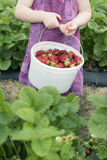 Young girl picking fresh strawberries. Outdoors in the garden carrying a white bucket full of fresh ripe red fruit, close up torso view of her hands the bucket Stock Photo