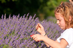 Young girl picks lavender flowers stock photography