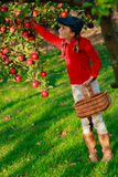 Young girl picking organic Apples into the Basket.Orchard. Stock Photo