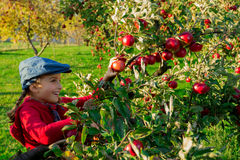 Young girl picking organic Apples into the Basket.Orchard. Royalty Free Stock Images