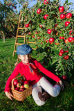 Young girl picking organic Apples into the Basket.Orchard. Royalty Free Stock Image
