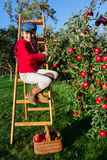 Young girl picking organic Apples into the Basket.Orchard. Royalty Free Stock Photos