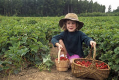 Young girl picking strawberries Stock Images