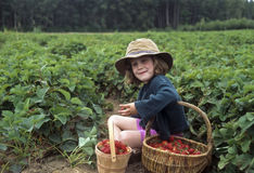 Young girl picking strawberries Royalty Free Stock Image