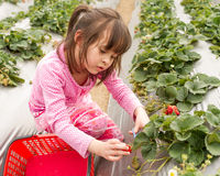 Young Girl Picking Strawberries Stock Photos