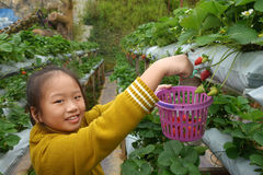 Young girl picking strawberries in the farm Royalty Free Stock Photos