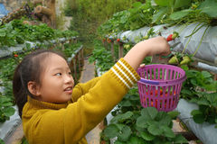 Young girl picking strawberries in the farm Stock Image
