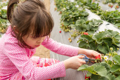 Young Girl Picking at a Strawberry Farm Royalty Free Stock Photos