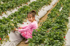Young Girl Picking at a Strawberry Farm Royalty Free Stock Photography