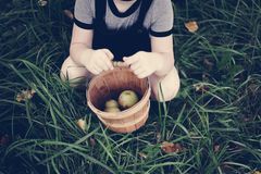 A young girl picking up some apples Royalty Free Stock Photography