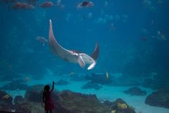 Girl and Manta Ray. A young girl points with excitement as she witnesses a large manta ray for the first time at the Georgia Aquarium royalty free stock photos