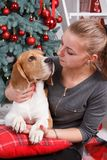 Young girl and pretty beagle dog looking to each other near New Year tree. Closeup card Royalty Free Stock Images