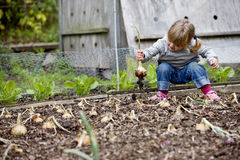 A young girl pulling up onions on an allotment Stock Images