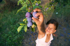 Young Girl Reaching Plums From A Tree stock image