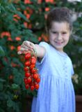 Young girl with ripe red tomatoes, hand picked in the garden on Royalty Free Stock Photography