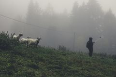 A young girl with a selfie stick photo with the sheep in the fog stock images
