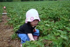 Young girl strawberry picking. A young girl strawberry picking during strawberry season Stock Photo