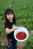 Young girl strawberry picking. A young girl strawberry picking during strawberry season royalty free stock photos