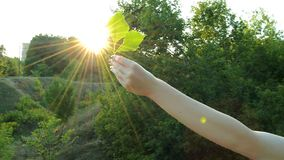 Young girl stretches in hand green leaf to the Sun stock footage