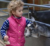 Young girl stroking a goat. Stock Photos
