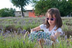 Young girl picks lavender flowers royalty free stock photography