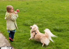 Young girl throwing a ball to a little dog.  Stock Photo