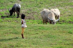 Young girl to herd buffalo and oxen at the early morning. A little young girl carries a small tree branch at her shoulder to herd buffalo and oxen in a open Stock Photo