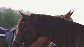 Young girl and two horses. Girl with horses on the field. A girl and two horses outside the city. A woman stands near beautiful horses stock footage