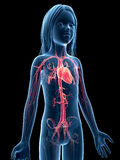 Young girl - vascular system Stock Photography
