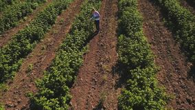 Young girl walking among the rows of strawberries. Farmer check the strawberries at the field in countryside. Inspector walk among rows and examining the growth stock video footage