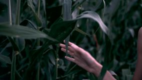 Girl hand touches corn. Girl walks through a corn field. A young girl walks through a field of corn and touches the corn with her hand. Camera moves in front of stock video footage