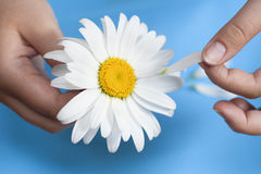 Young girl with a white daisy tearing petals off stock photos
