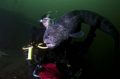 A Young Girl with a Wolf Eel Stock Image