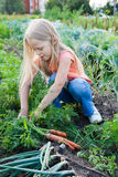 A young girl working on the garden. Little girl with bunch of carrots in vegetable garden Royalty Free Stock Photo