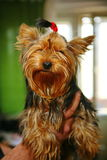 Young girl yorkshire terrier with a red rubber band for the hair in the hair in the hands of a loving owner. royalty free stock images