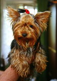Young girl yorkshire terrier bitch with a red rubber band for the hair in the hair in the hands of a loving owner. Royalty Free Stock Image