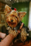Young girl yorkshire terrier bitch with a red rubber band for the hair in the hair in the hands of a loving owner. Stock Images