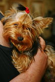 Young girl yorkshire terrier bitch with a red rubber band for the hair in the hair in the hands of a loving owner. Stock Photo