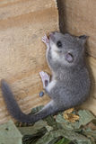 Young glis glis. Climbing  on a wooden wall Royalty Free Stock Image