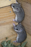 Young glis glis. Climbing  on a wooden wall Stock Image