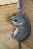 Young glis glis. Climbing  on a wooden wall Stock Photography