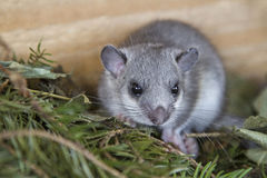Young glis glis. In his nest Stock Photo