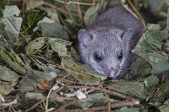 Young glis glis. In his nest Stock Photography