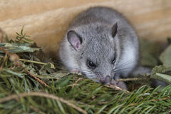 Young glis glis. In his nest Royalty Free Stock Photography