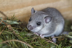 Young glis glis in his nest. The dormouse is a mouse-like rodent that is active mainly at night Stock Photos