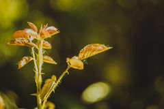 Young glossy leaves rose Royalty Free Stock Images